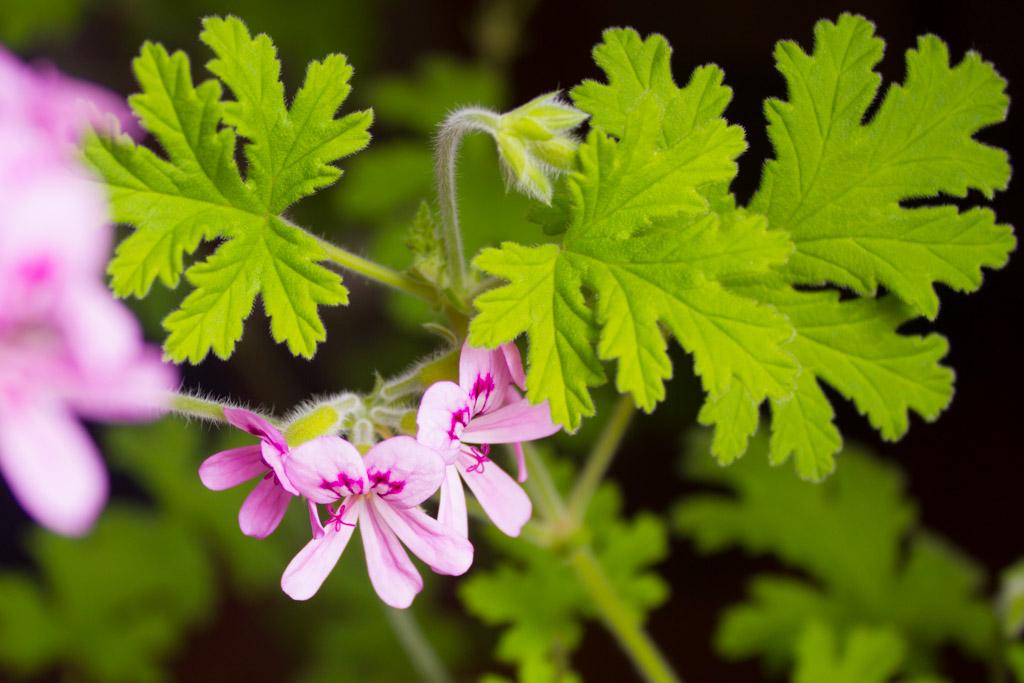 geranium-rosat-fleurs