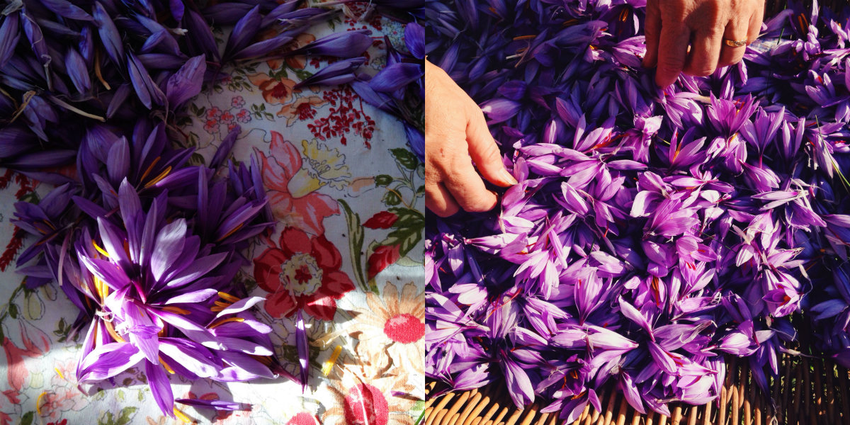 récolte du safran crocus sativus