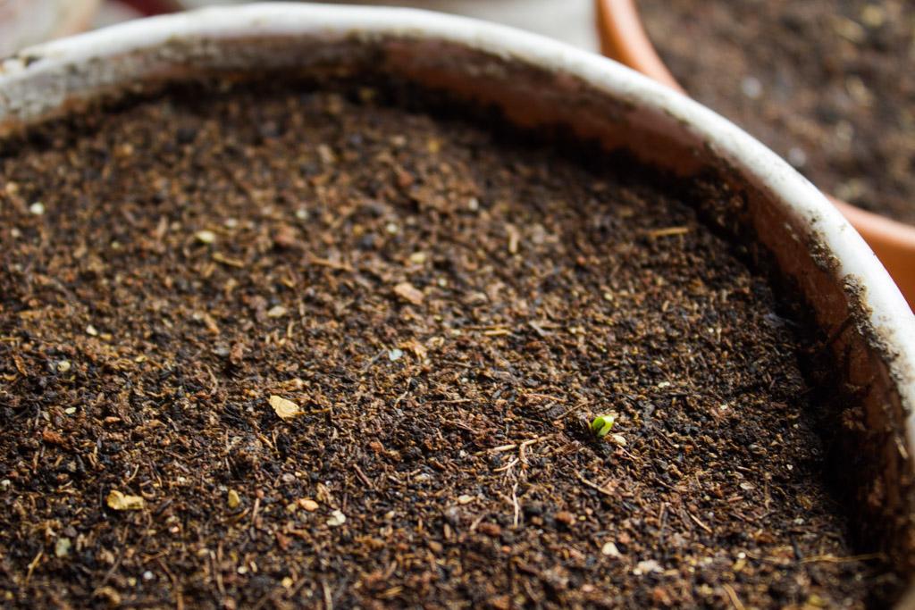 semis-basilic-grandes-feuilles