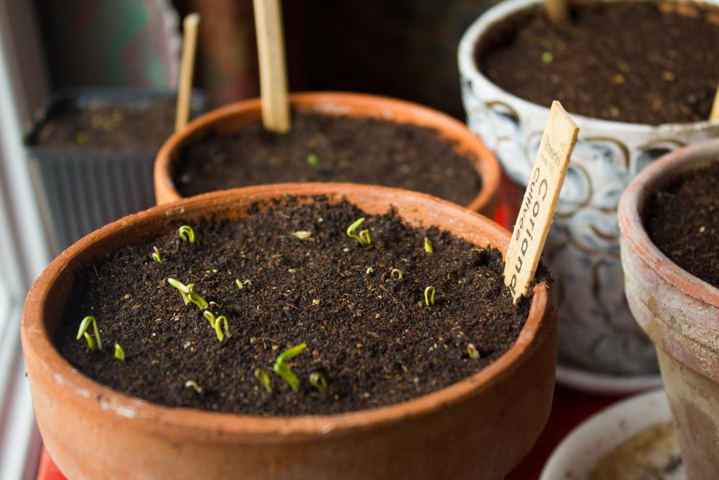 semis-coriandre