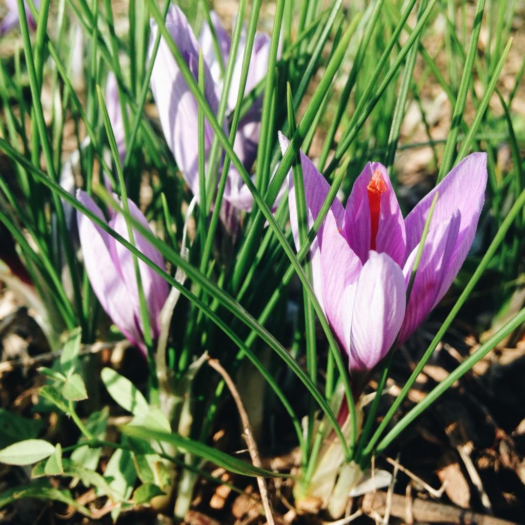 fleur crocus sativus épice safran