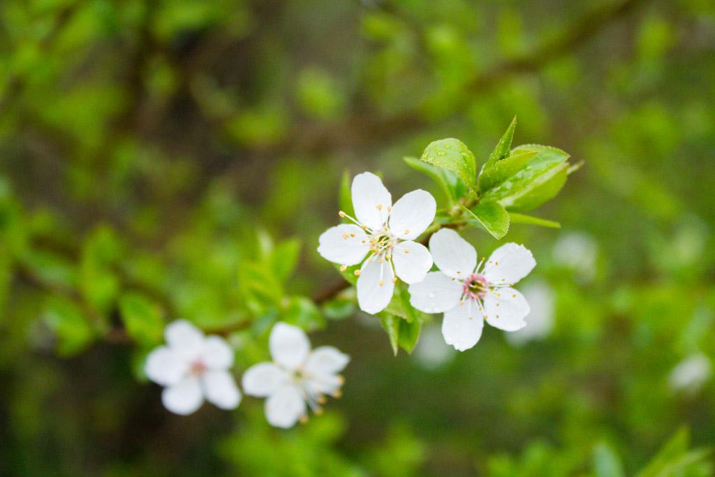 fleurs de prunier sauvage