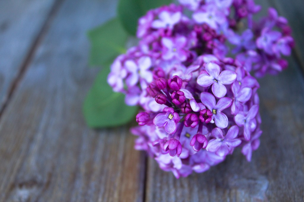 fleurs de lilas pour tisane