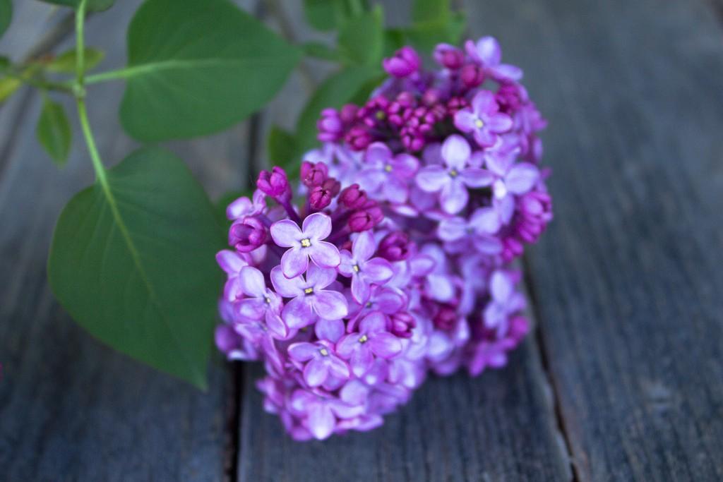 fleurs de lilas pour infusion
