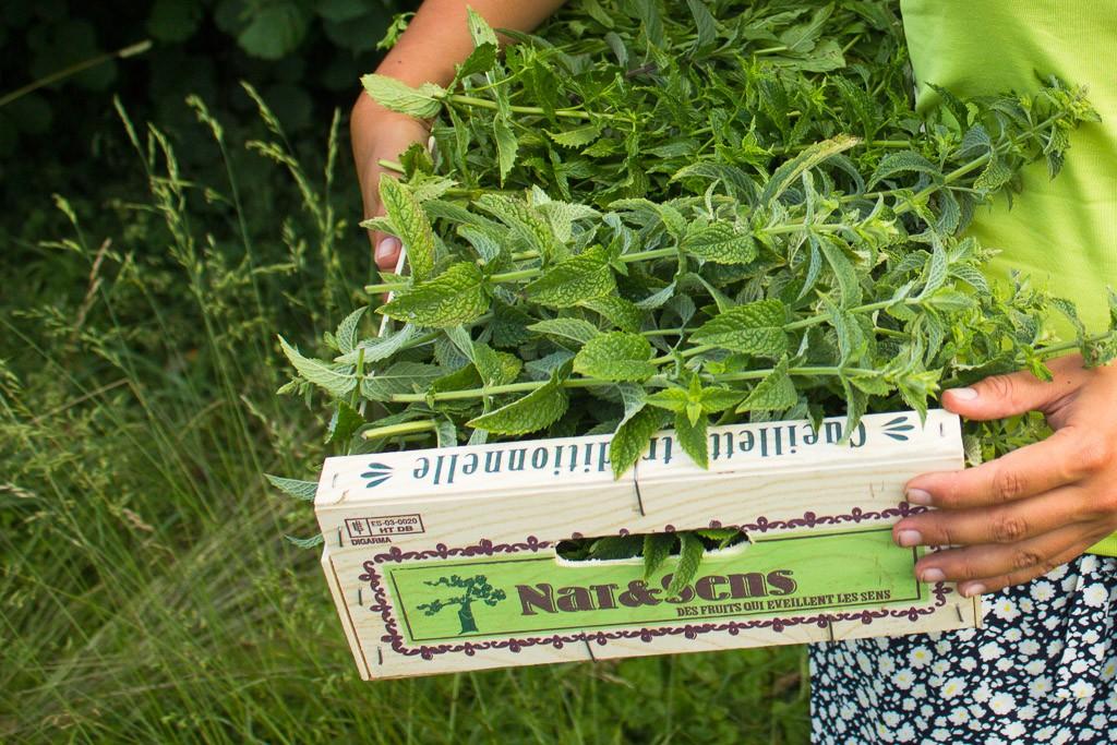 récolte de menthe pour cuisiner un pesto de menthe