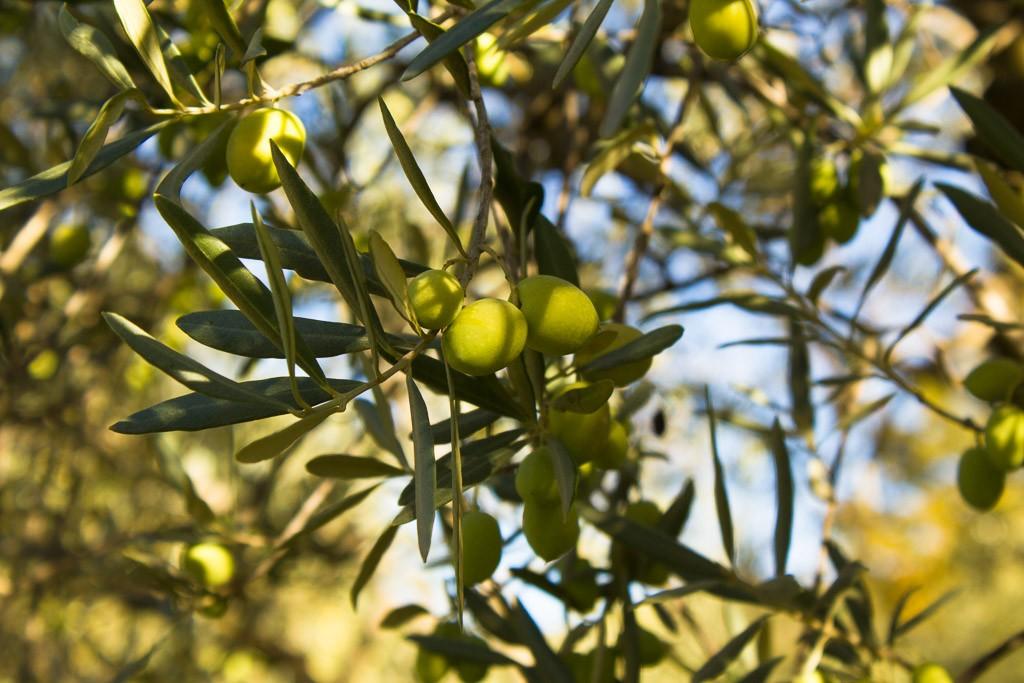 olive aoc haute provence