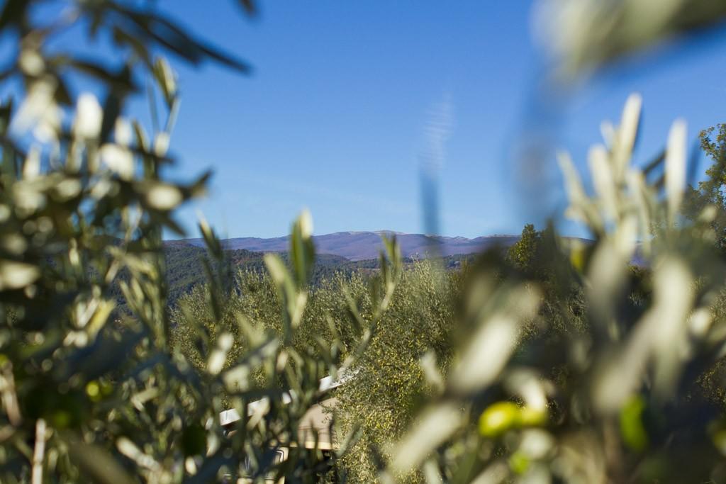 oliveraies alpes de haute provence