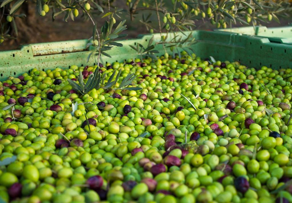 récolte des olives novembre 2015