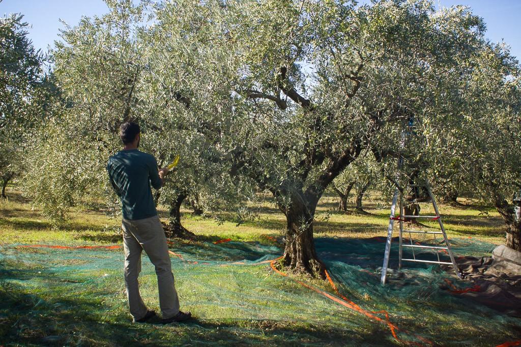 peigne à olives