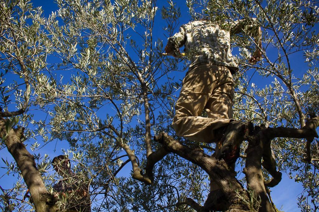 récolte dans les oliviers