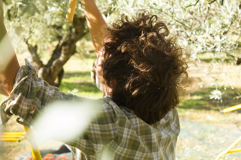récolte des olives au peigne
