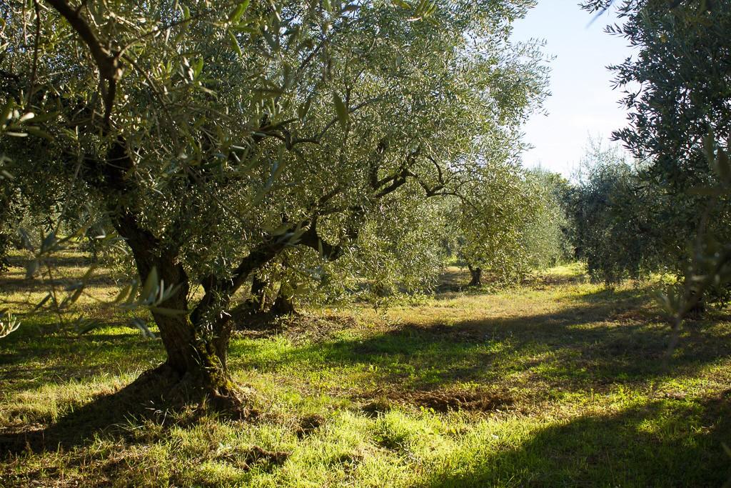 oliveraie aux mées