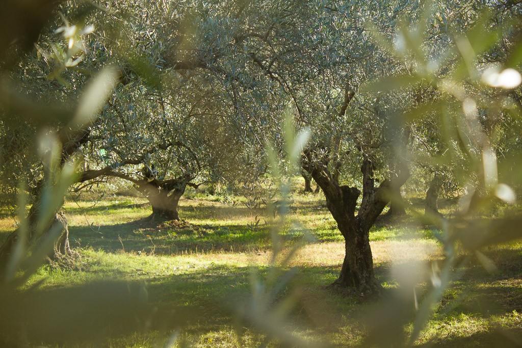 oliveraie en haute provence