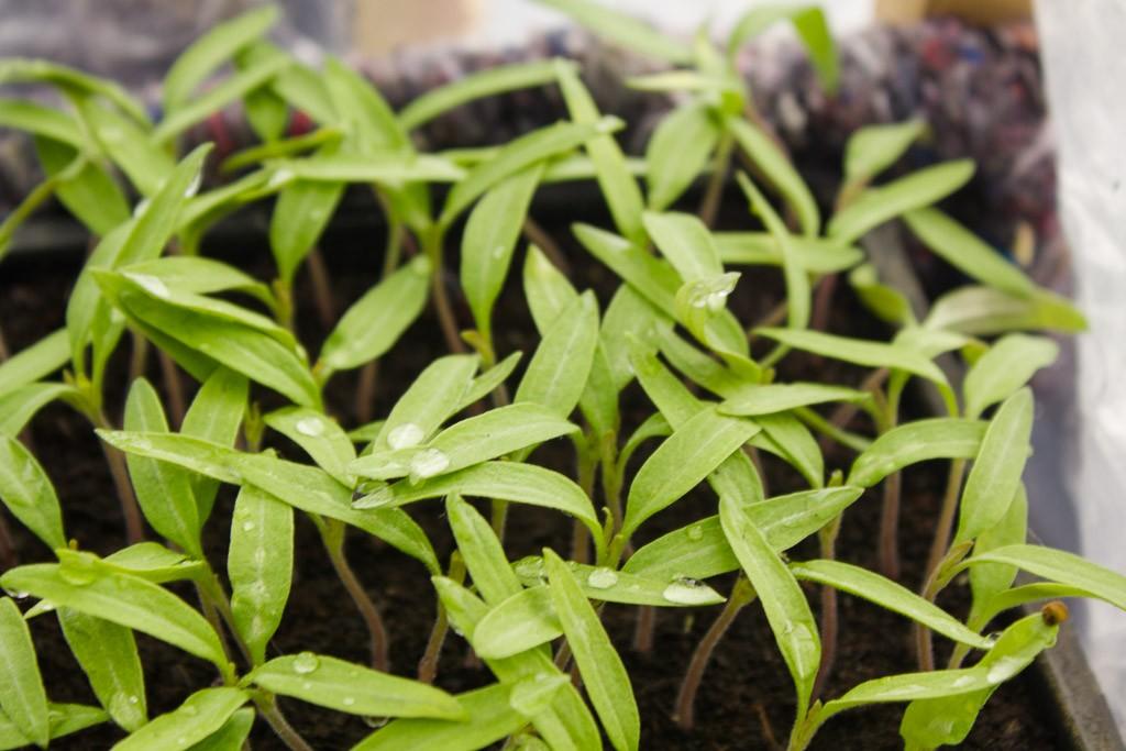 plants tomates en cotylédons variété marmande
