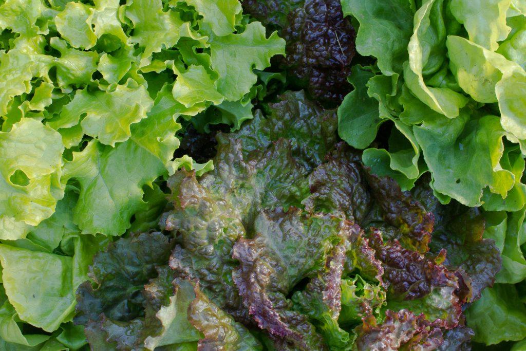 variétés anciennes de salades
