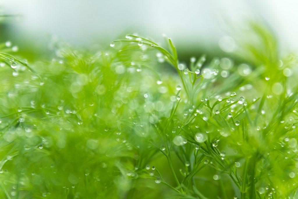 aneth-jeune-plant
