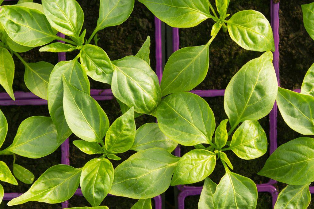 plants-piment sucette de provence