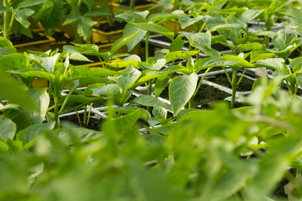 plants-poivrons