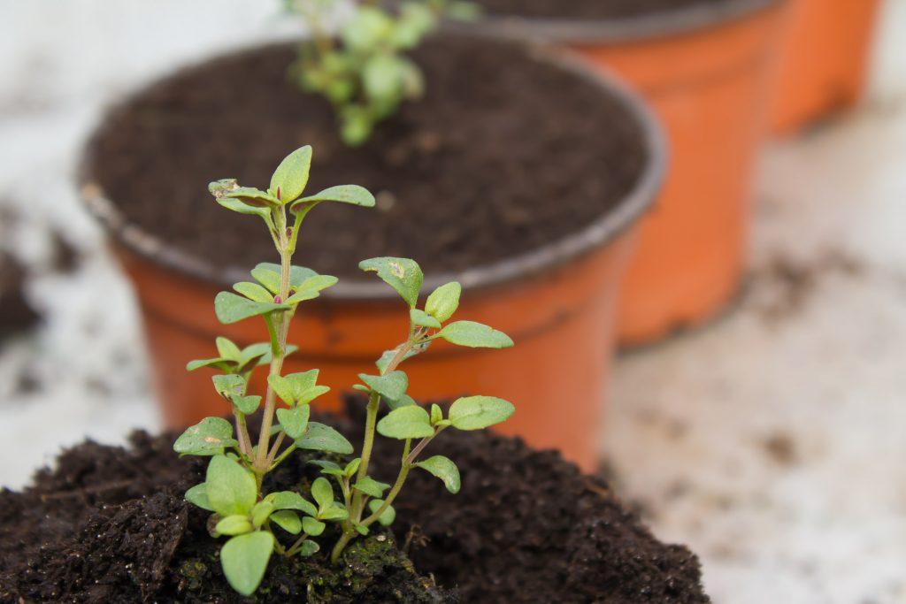 plants-thym d'hiver