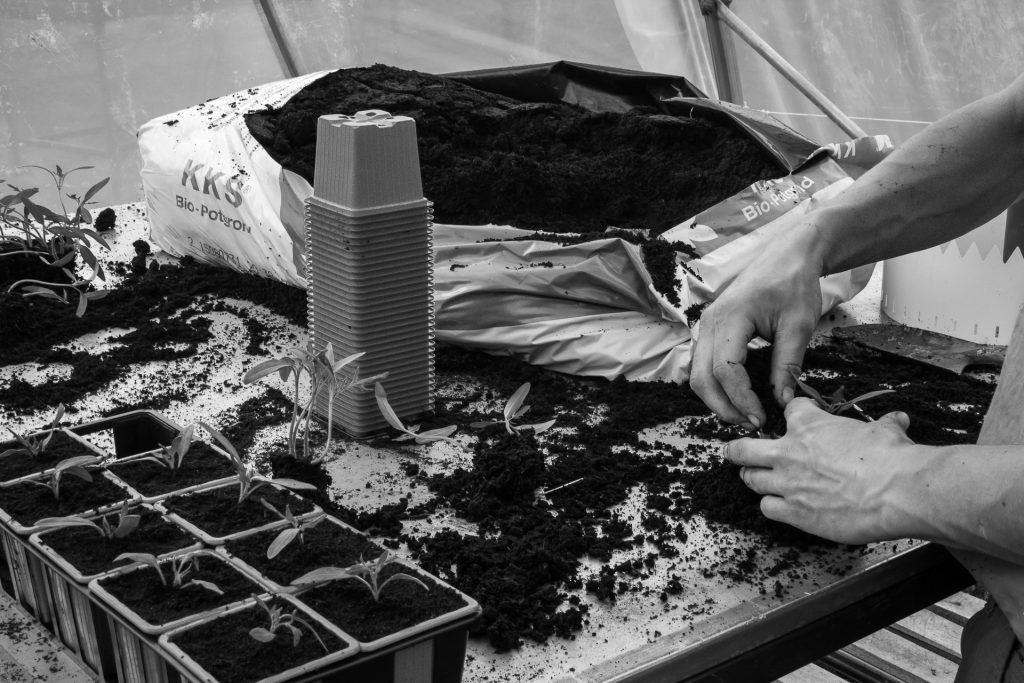 repiquage plants de tomates bio