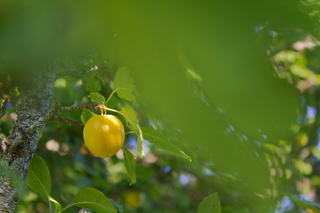 prunes sauvages baronnies provençales