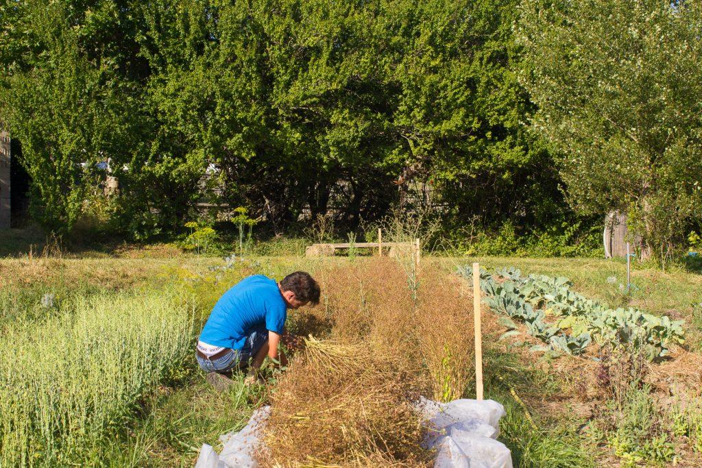 récolte graines de coriandre bio
