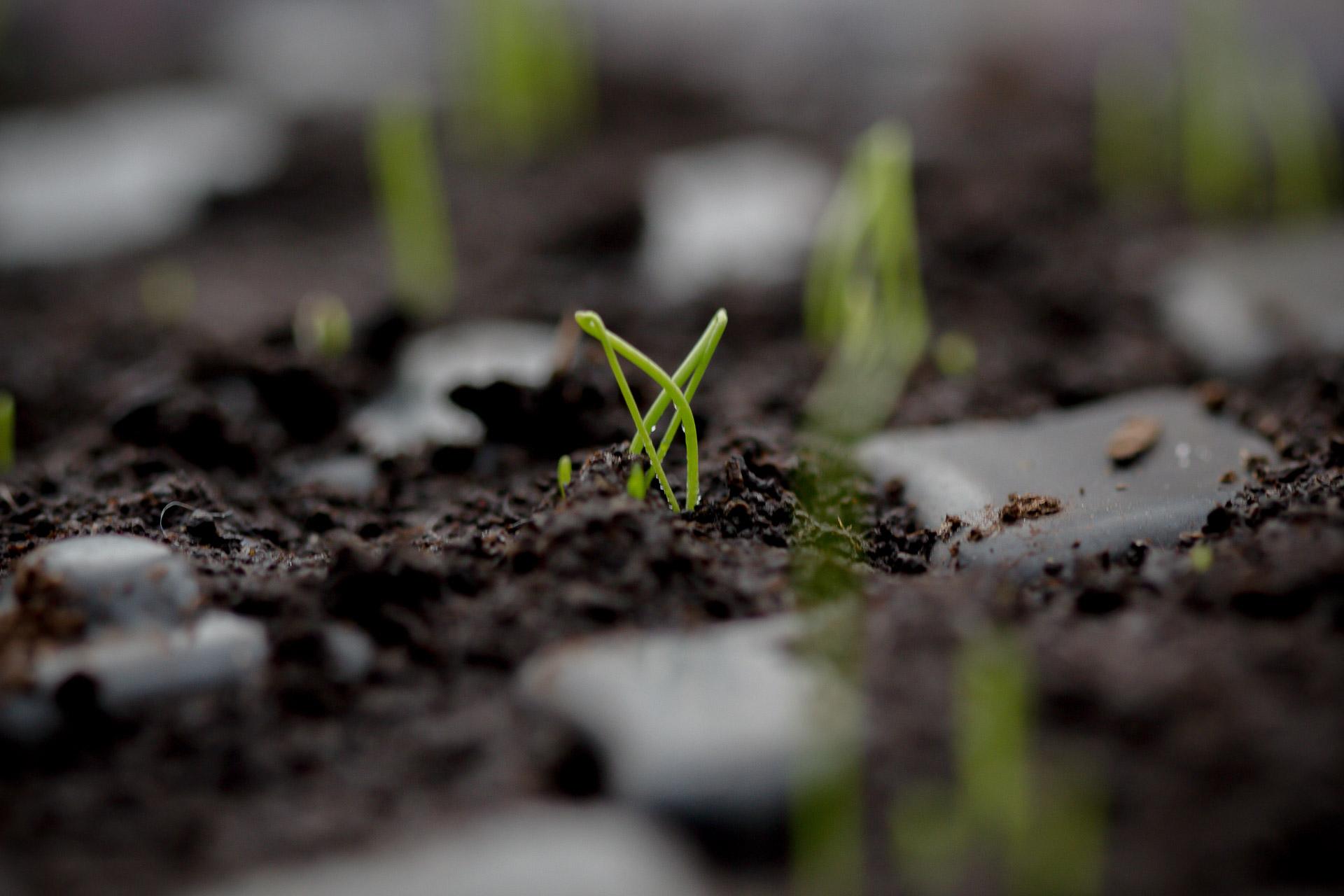 plants de ciboulette