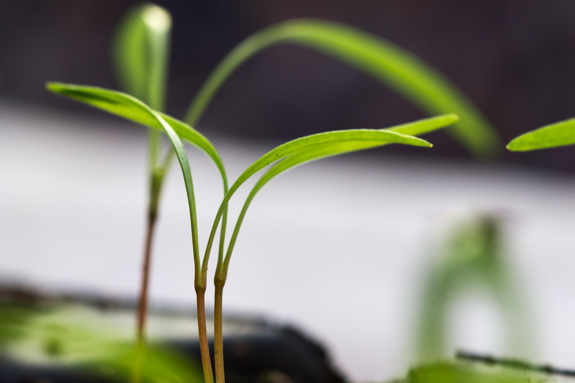 plantules de fenouil bio