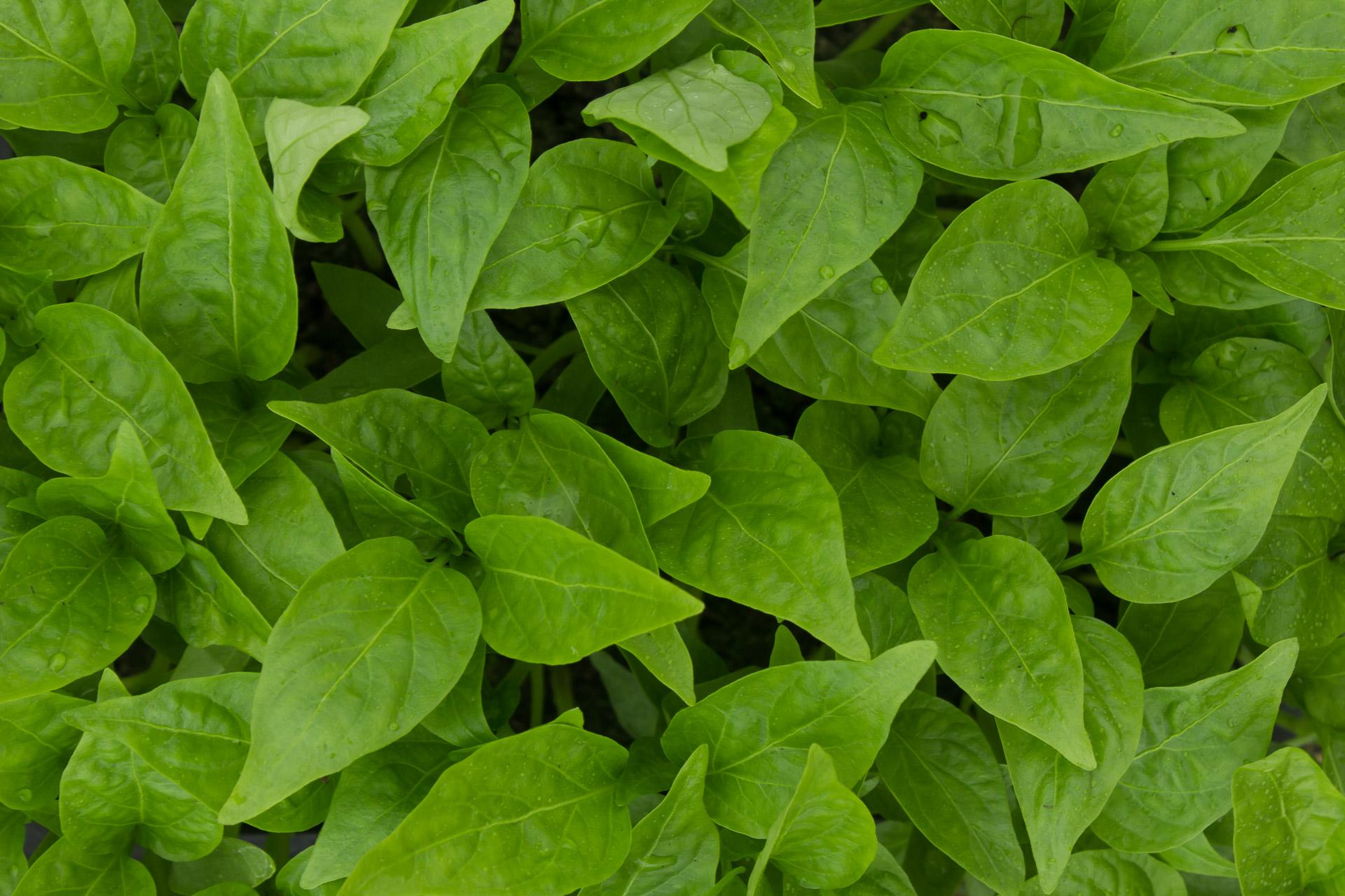plants bio poivrons