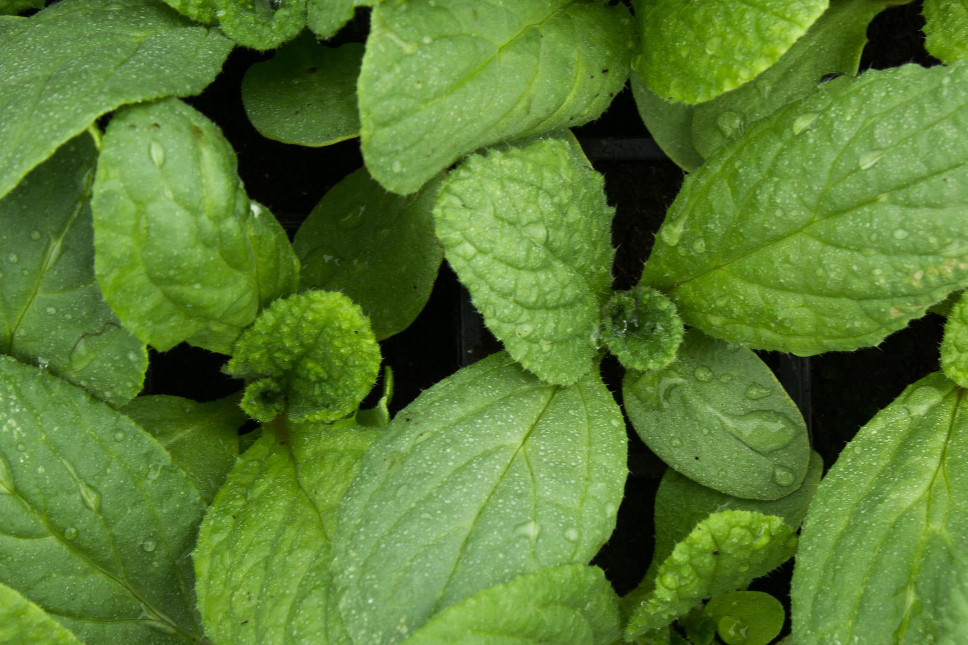 plants bio bourrache