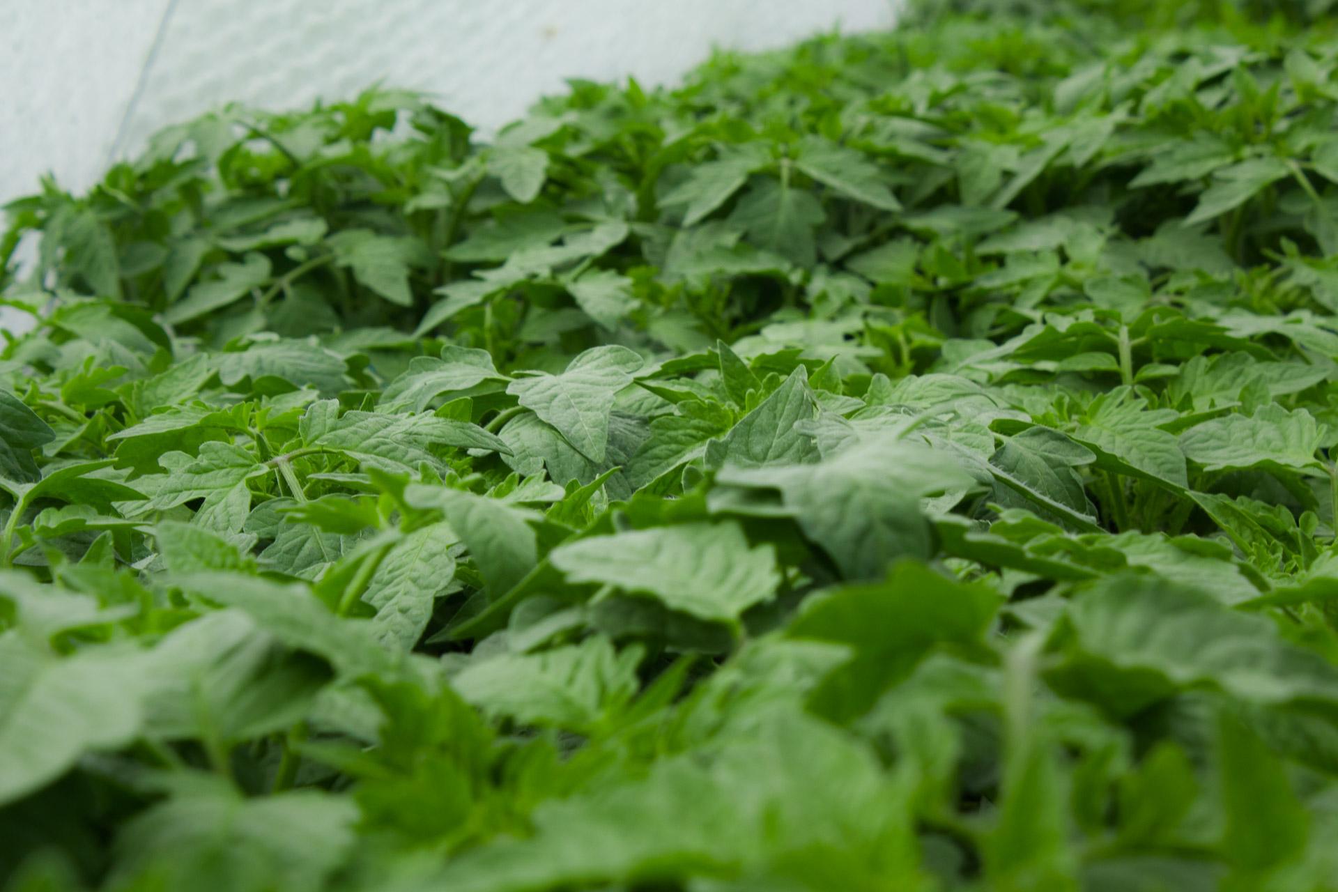 plants bio tomates variétés population