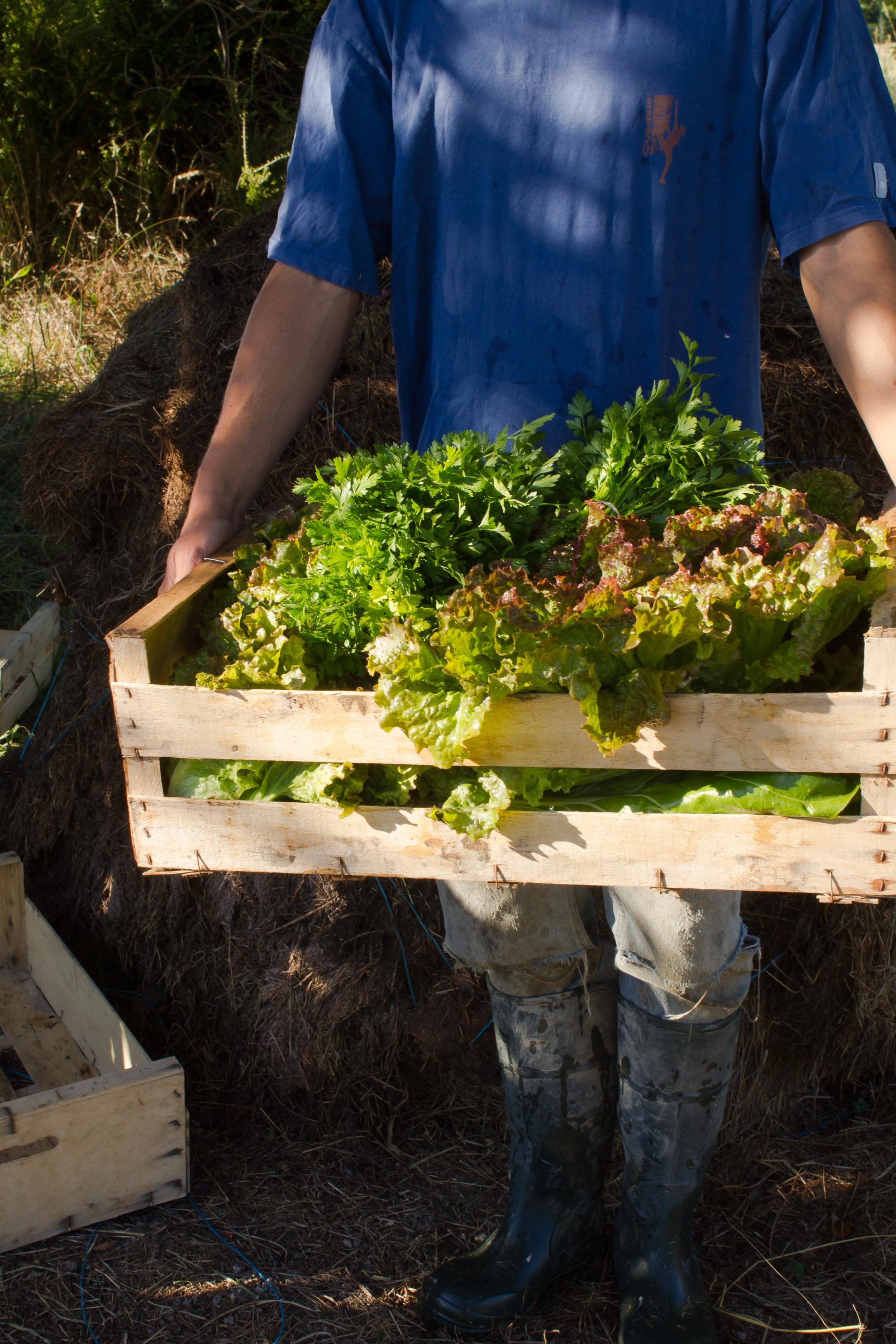 récolte des salades bio