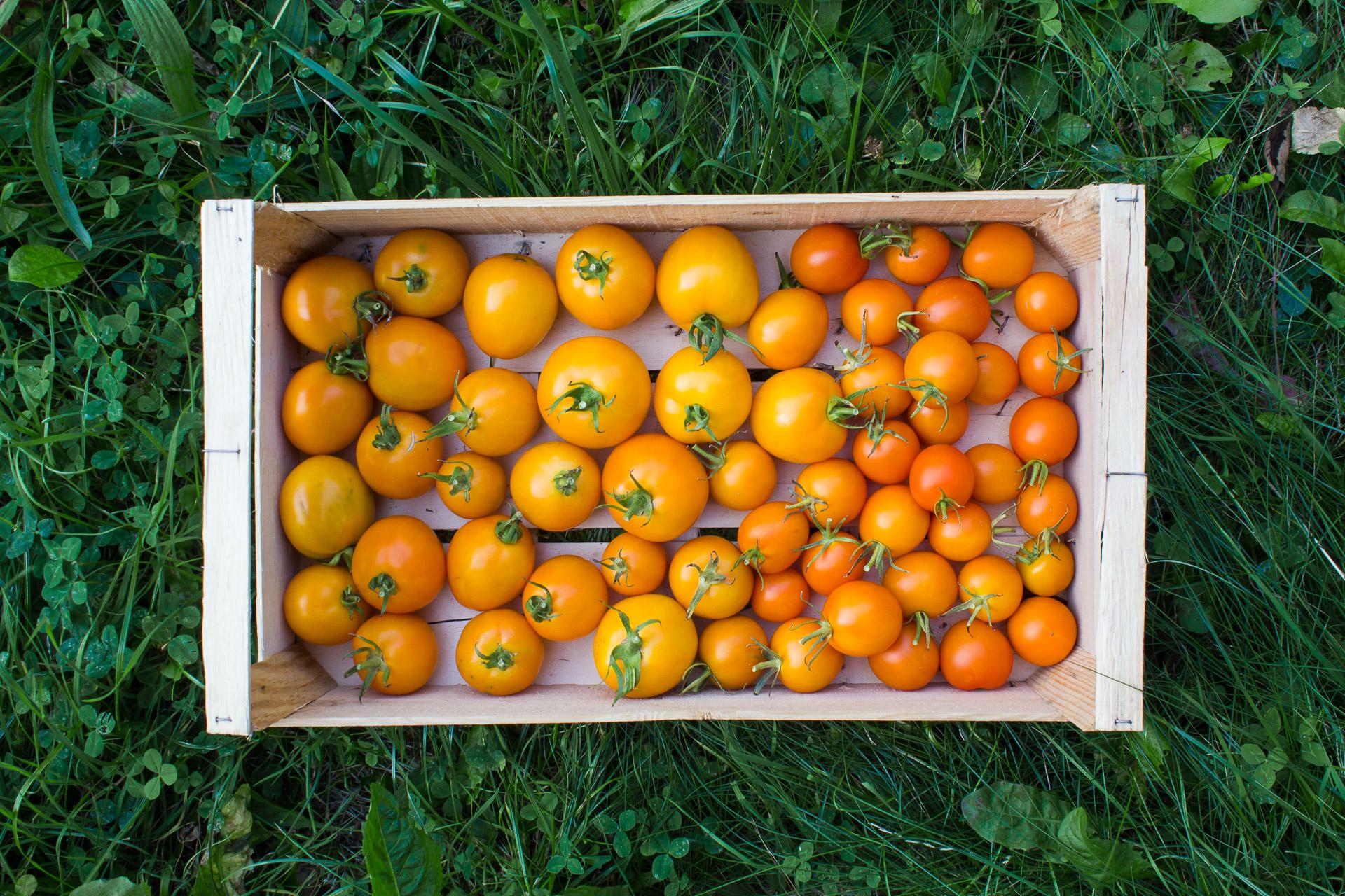 tomates auriga et kaki coing bio